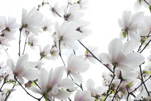 Carousel image 01ea50769271e24d036e magnolia blossoms  0967