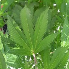 Carousel image 04557bdcfe7dd9e09537 marijuana4