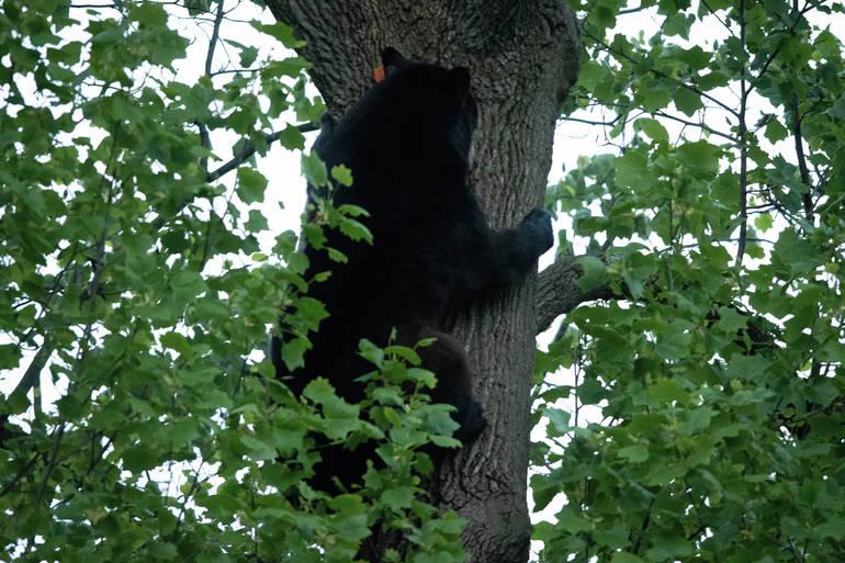 Millburn bear climbs down May 19.jpg