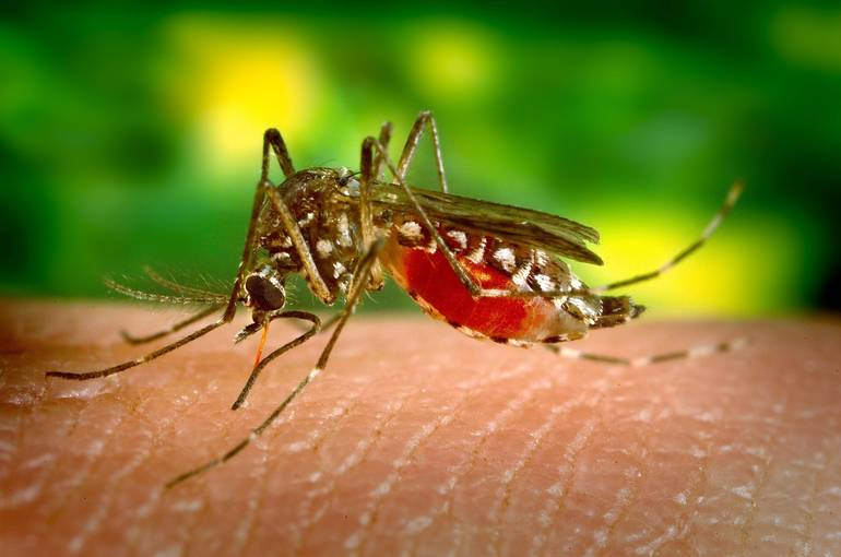 mosquito-542156.jpg