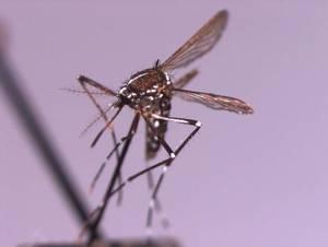 Carousel_image_ff6207556f74445b5d9e_mosquito