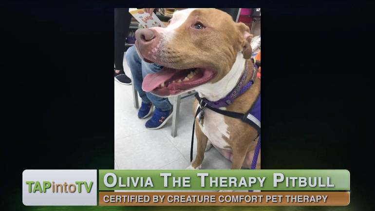 Olivia the Therapy Pit Bull