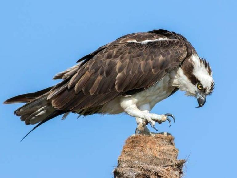 Osprey Perched  allaboutbirds.org.jpg