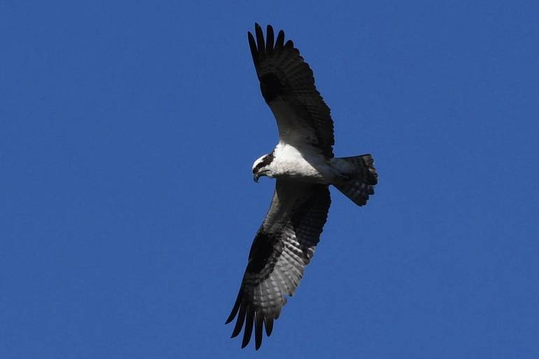 Osprey otherwise known as fish hawk circling Arnold's Pond.jpeg