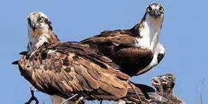 Carousel image efcf32c364c7279544d5 ospreys in nest  credit   nwf dot org