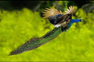 Carousel_image_d033944e03dc9a40f2fa_peacock