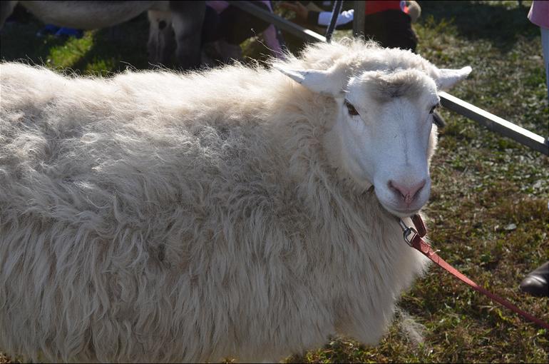 PH sheep.png