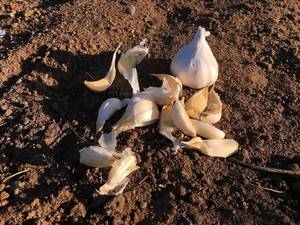 Carousel image 1d5ddf9699b6a33e8d9a planting garlic photo credit melindamyers com