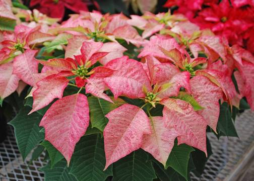 Top story 7037a2e7505fa43168af poinsettia photocredit melindamyersllc