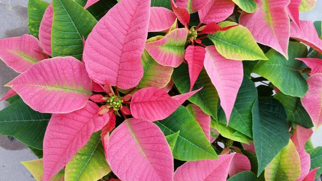 Top story 89382a88a05c98ef38a5 poinsettias 003