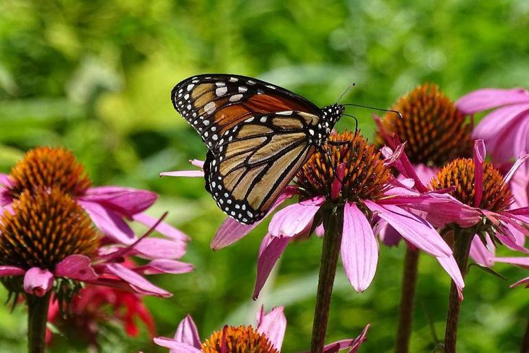 Purple Coneflower with Monarch Butterfly