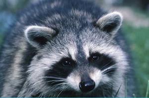 Carousel image 3430ff5842c81b7f3006 raccoon