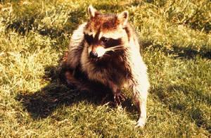 Carousel image 7f2829c0ee30101d4fce raccoon