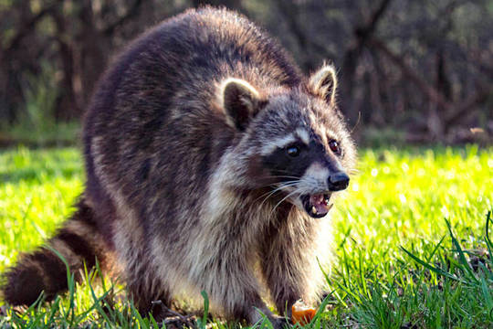 Top story 3665183c4e6cdc9c2508 raccoon 1