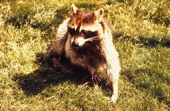 Top story 7f2829c0ee30101d4fce raccoon