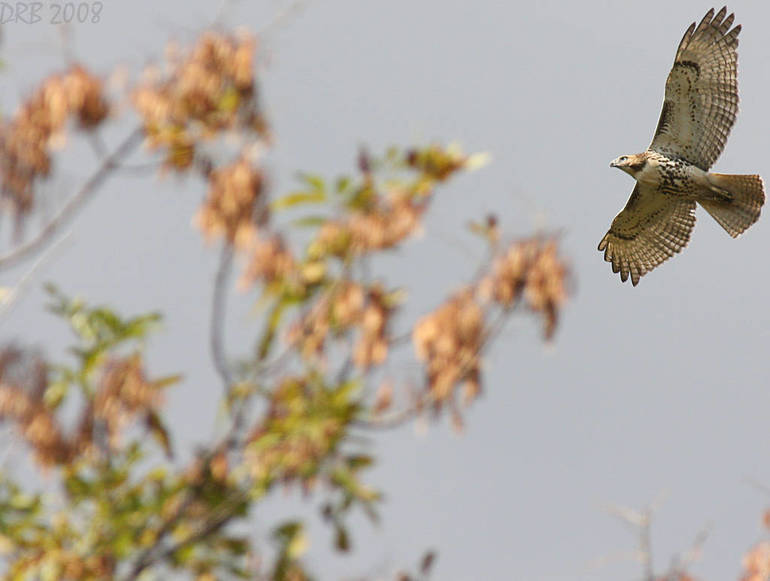 Red-tailed Hawk in Flight by Dave Blinder.jpg