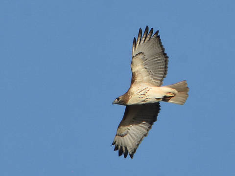 Top story ba382c66bf86c2ce3054 red tailed hawk in east brunswick