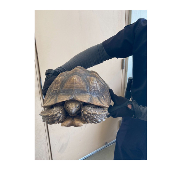 Huge turtle found near Fire Station 42 at 6500 Parkside Drive in Parkland.
