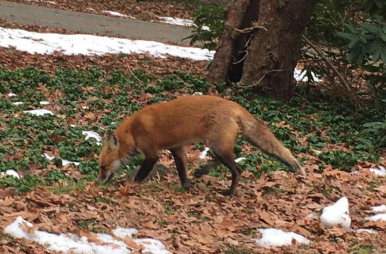 Foxy File Photo Di Ionno