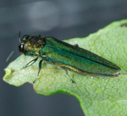 Invasive Insect Threatens Ash Trees in Berkeley Heights  Township Continues Countermeasures