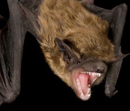 Rabid Bat Found in South Brunswick Township