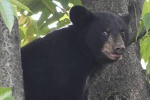 Summit P.D. Report Bear Sighting