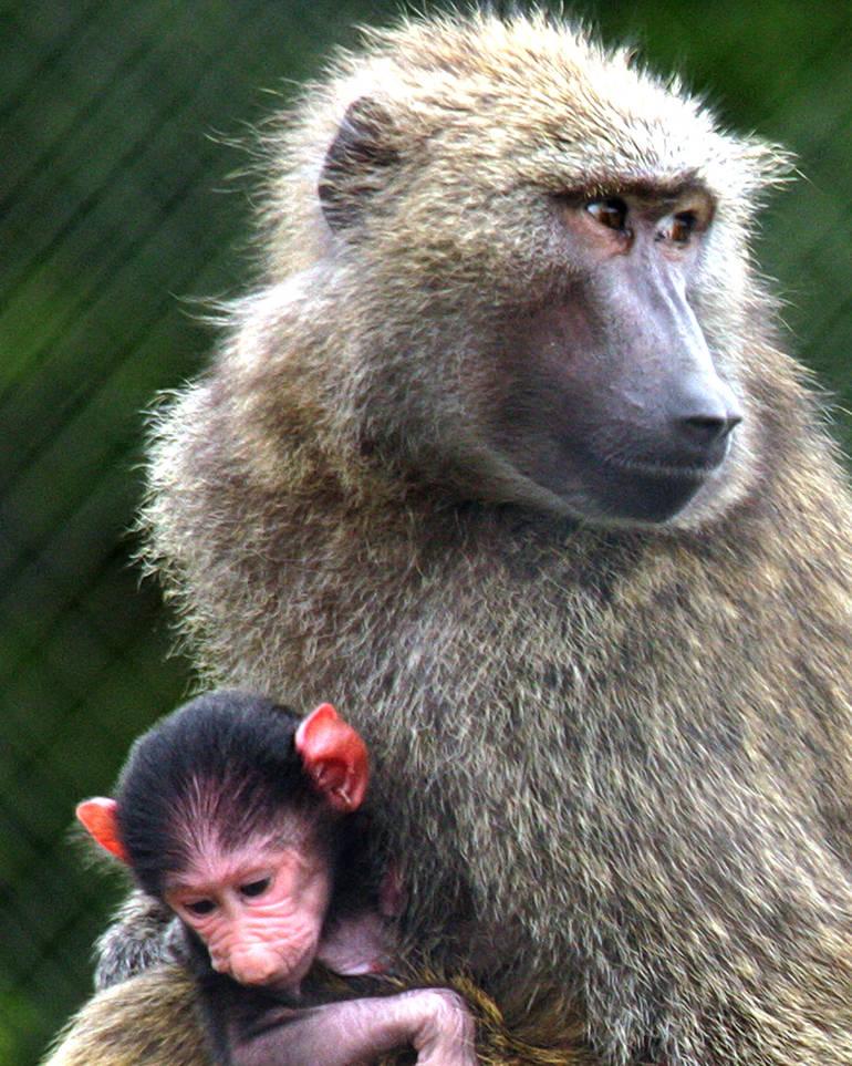SF Safari - baboon & baby.jpg