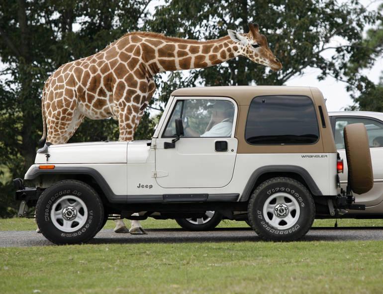 SF Safari - giraffe & jeep (1).jpg