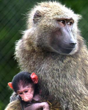 Carousel image acb32ae4136bad0f11e6 sf safari   baboon   baby