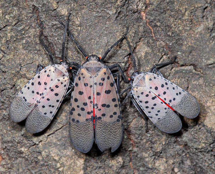 Freeholder Board Hears Update on Spotted Lanternfly Presence