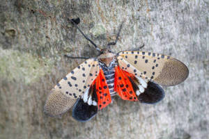 Carousel image f3c0c1cb748a0fe718f8 spotted lanternfly close up2