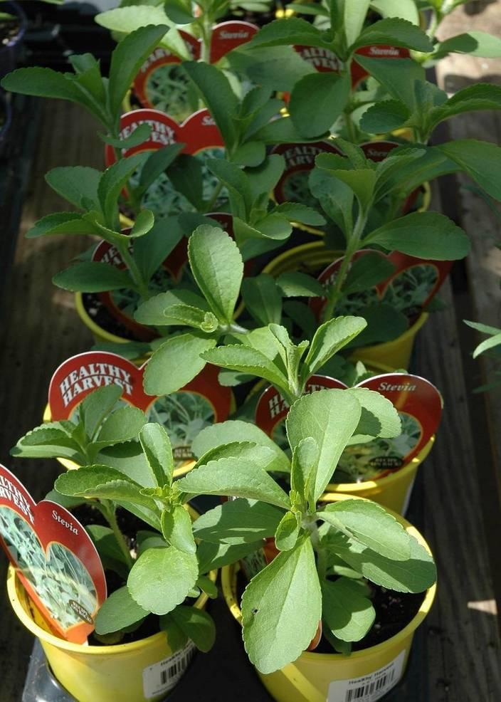 Best crop 1196088fe6129dff3816 stevia   2