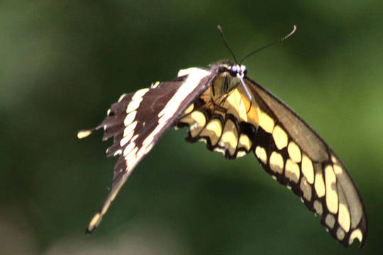 Top story c49f5822bae4d2ba1ff2 swallowtail landing