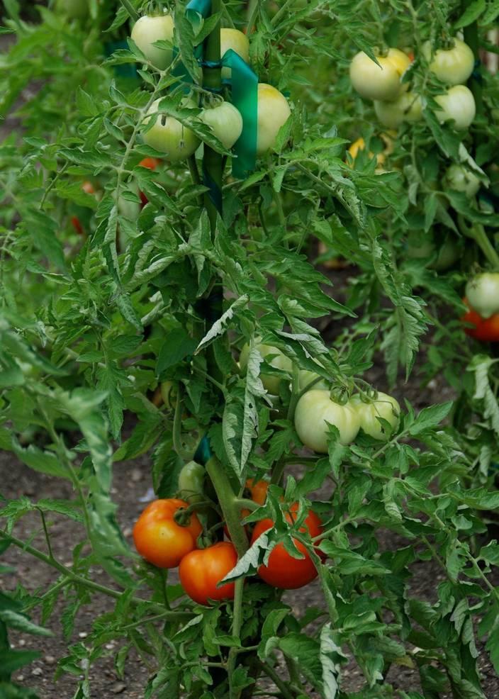 Best crop 1dc7e6e0ae6c8e2a5e54 tomatoes  1