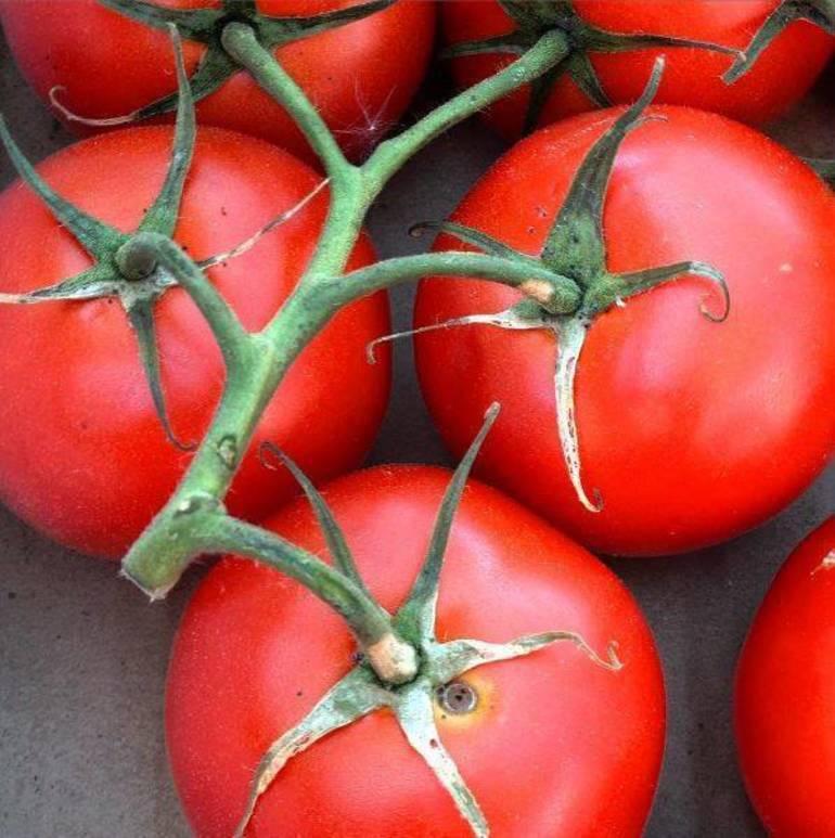 Tomatoes Vine.JPG
