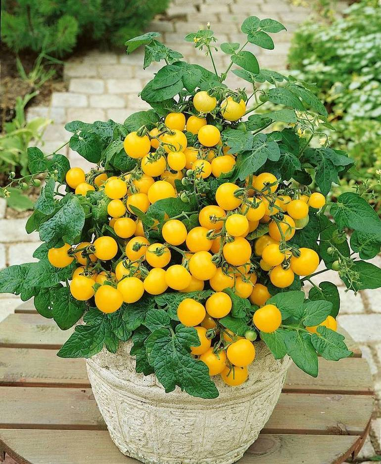 Best crop dc378ea09b5640dbd891 tomato patio choice yellow  photo credit all america selections