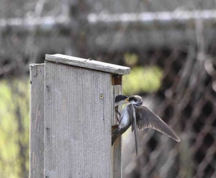 tree swallows.jpeg