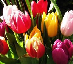 Carousel image 89180792513f2a18225e tulips