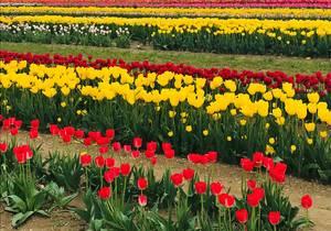 Carousel image d3211ca1797a66f4e479 tulips