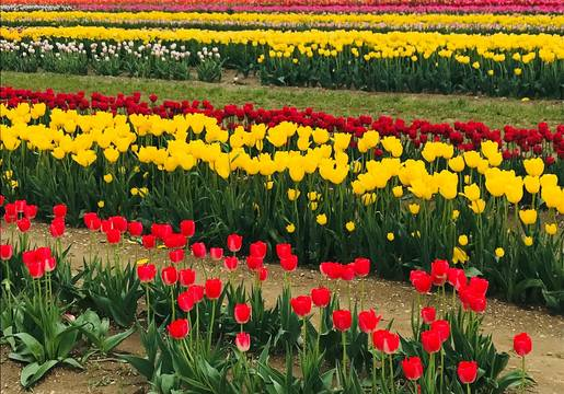Top story d3211ca1797a66f4e479 tulips