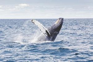 Carousel image 94721f215578b929b711 whale breaching