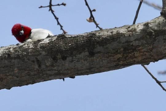 Top story 396384060439b4ebcf39 woodpecker