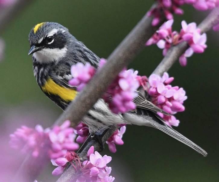 Yellow rump Warbler.jpeg