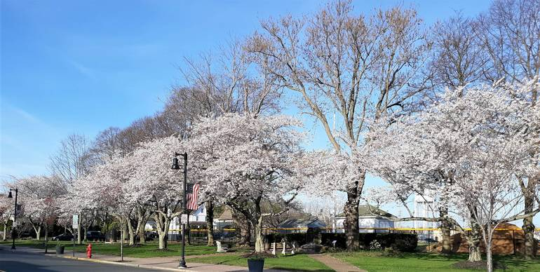 Belmar is Blossoming! Cherry Trees Create Canopy of Pink Over Memorial Row