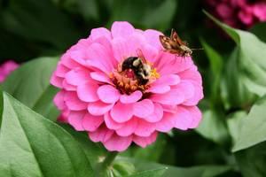 TAPinto Home and Garden Zinnia Bee Pollinator Garden
