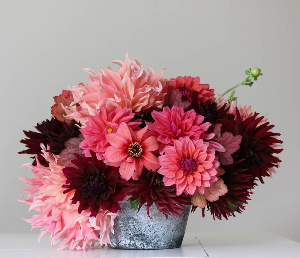 New for 2019 from Longfield Gardens: Flirty Fleurs Sorbetto Collection, featuring dahlias HS Date, Rip City, Penhill Watermelon and Nuit d'Ete.