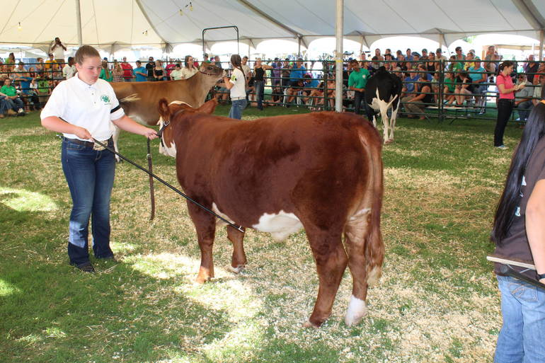 Livestock show at the Somerset County 4-H Fair