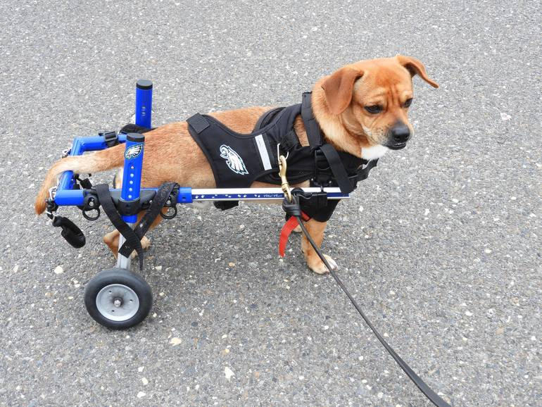 Carson Wheelie - This Jersey Dog Rolls on Two Wheels
