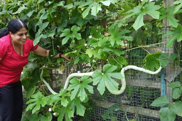 Snake Gourd 5