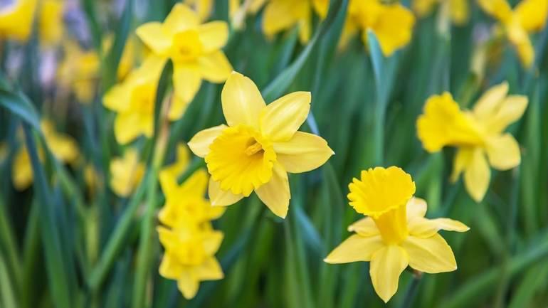 a90fc1908404276f080d_daffodils.jpg